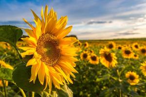 Foto Sonnenblumen Aussaat Pflege